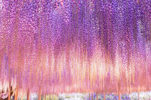 oldest-wisteria-tree-ashikaga-japan-3-2603c